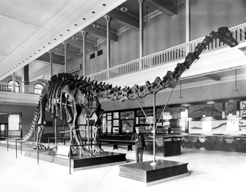 The original CMNH Diplodocus mount, in the hall built specifically to accomodate it. Source