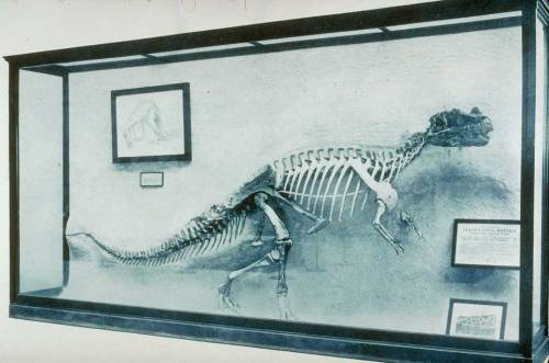 The Ceratosaurus nasicornis holotype, mounted in relief, was a new introduction to the Hall of Extinct Monsters. Photo courtesy of the Linda Hall Library.