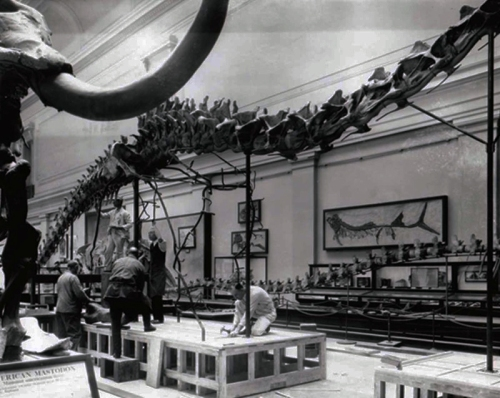 Diplodocus under construction, ca. 1930. Source