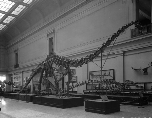 USNM 10865 in the Hall of Extinct Monsters, circa 1932. Photo courtesy of the Smithsonian Institution Archives.