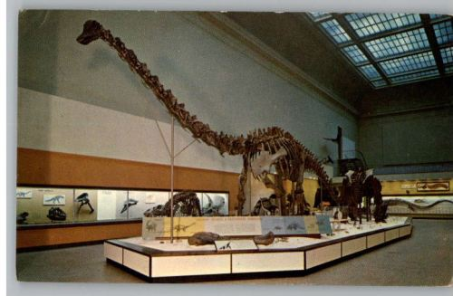 Diplodocus in 1961 renovated gallery. Photo from www.billysportcards.com.