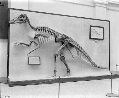 This relief-mounted Edmontosaurus was the first complete Mesozoic dinosaur displayed at USNM. Photo courtesy of the Smithsonian Institution Archives.