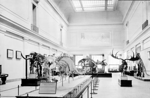 The mounted Basilosaurus skeleton in the Hall of Extinct Monsters, circa 1913. Photo courtesy of the Smithsonian Institution Archives.