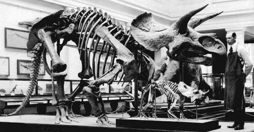The Triceratops in the Hall of Extinct Monsters, circa 1911. Photo from NMNH on flickr.