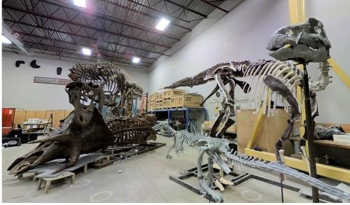Partially mounted Edmontosaurus