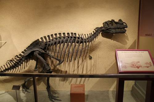 Ceratosaurus. Photo by the author.