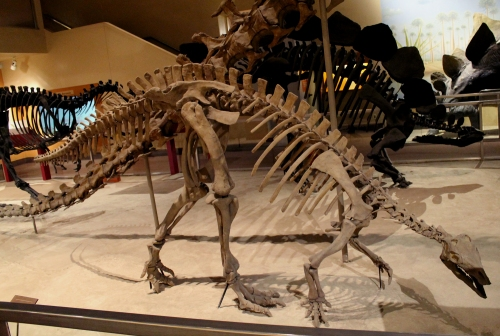 This cast replaced the original Camptosaurus mount in 2010. Photo by the author.