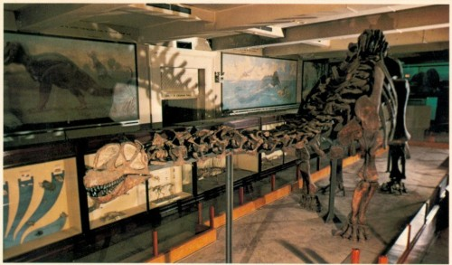 The completed mount as it stood in the 1970s, Camarasaurus head and all.