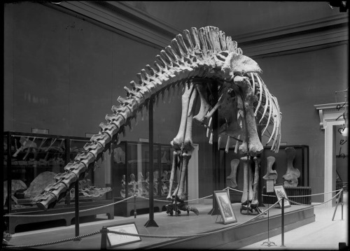 Riggs' Apatosaurus mount stood unfinished from 1908-1958. Photo from the Field Museum Library.