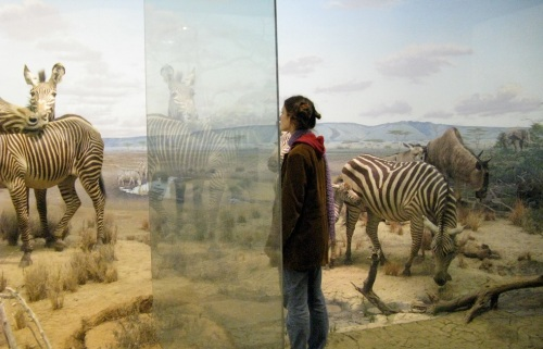 CMNH zebra diorama. Source: amyboemig on flickr.