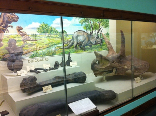 The dinosaur case at the KU Natural History Museum, untouched since the 1950s.