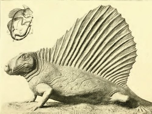 Gilmore's stub-tailed Dimetrodon. Image from Gilmore 1939.