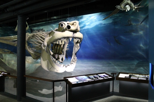 The Carcharocles megalodon at the Calvert Marine Museum.