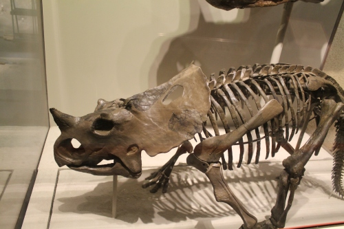 The Brachyceratops mount today. Photo by the author.