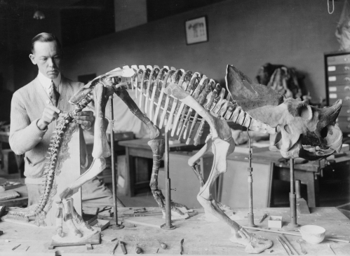 Norman Boss Brachyceratops courtesy Smithsonian archives