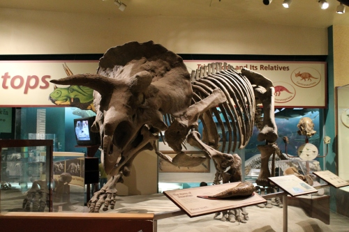 Triceratops at the National Museum of Natural History.
