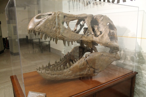 "Skull cast of MOR 555, soon to be ""The Nation's T. rex"", at NMNH."