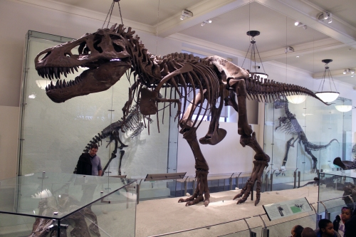 AMNH 5027 was restored and remounted in 1995.