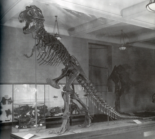 The original Tyrannosaurus rex mount at the American Museum of Natural History. Photo from Dingus 1996.