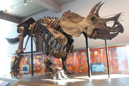 LACM Triceratops mount. Photo by Heinrich Mallison, many more here.