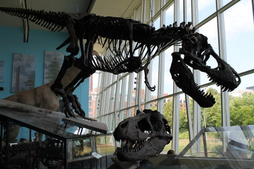 Full skeleton cast of Peck's Rex, accompanied by skull cast of the Nation's T. rex. Photo by the author.
