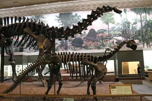 Apatosaurus and Camarasaurus at the Peabody Museum of Natural History. Photo by the author.