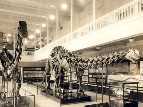 Carnegie Museum Brontosaurus circa 1934. Source