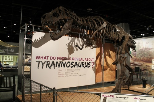 Stan the Tyrannosaurus at the National Museum of Natural History. Photo by the author.