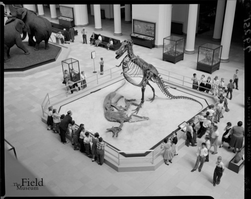Gorgo in Stanley Field Hall. Photo courtesy of Field Museum Photo Archives.