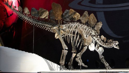 Sophie the Stegosaurus at the Natural History Museum in London. Source