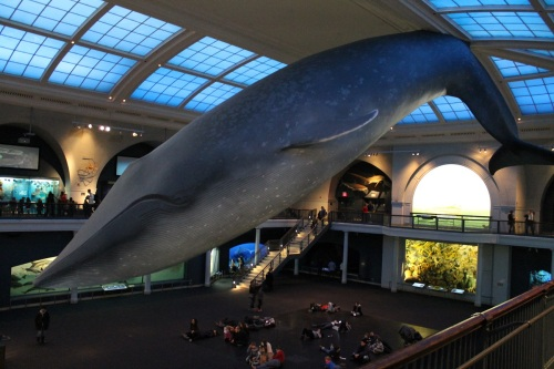 Blue whale model at AMNH. Photo by the author.