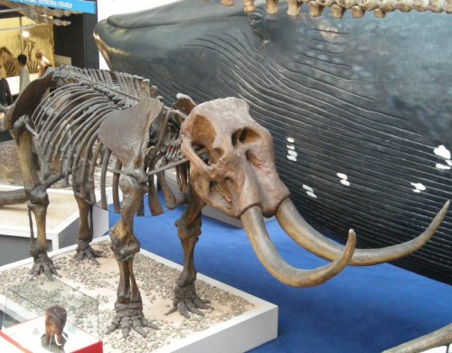 The mastodon once called Missourium in the Mammal hall. Source