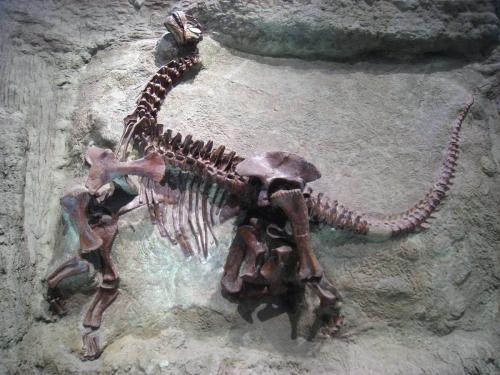 Carnegie Camarasaurus.