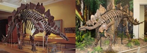 CMNH Stegosaurus