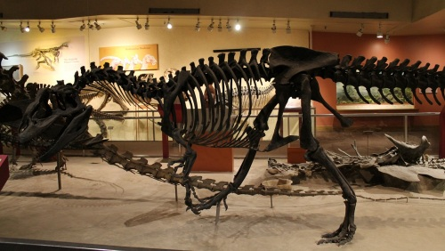 The complete Allosaurus skeleton was finally exhibited in 1981. Photo by the author.