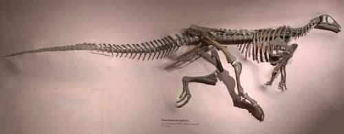 Thescelosaurus at USNM.