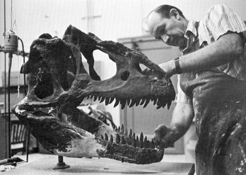 Arnold Lewis rebuilds the Allosaurus skull in 1979. Image from Thomson 1985.