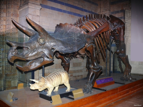 Triceratops at the Natural History Museum, London.