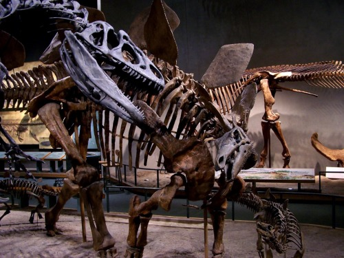 A close up of Allosaurus