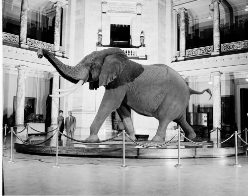 Fénykövi Elephant in the 1960s. Photo courtesy of the Smithsonian Institution Archives.