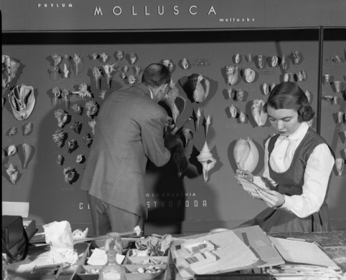 Back to basics: a phylogeny-based mollusc exhibit is installed in 1952. Source