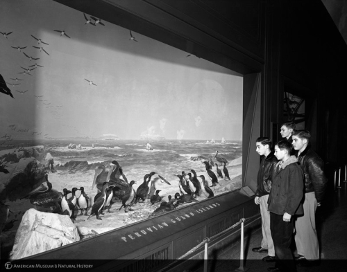 oceanic birds or whatever. AMNH 1950s