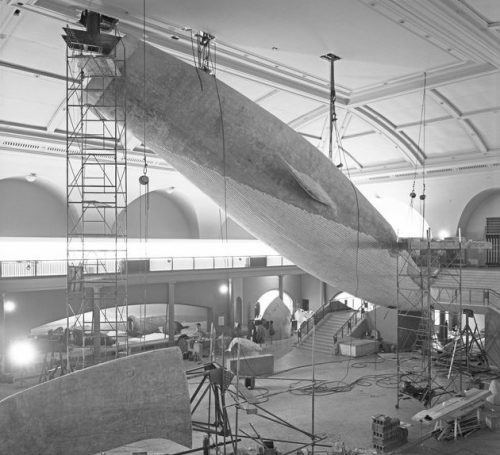 installing the amnh whale mk 2