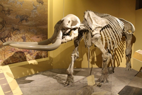 Stegomastodon in 2014. Photo by the author.