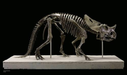 Brachyceratops/Rubeosaurus