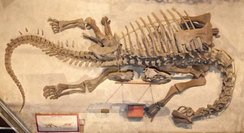 Camarasaurus usnm