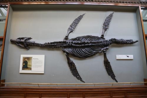 Rhomaleosaurus cast at the London Museum of Natural History.